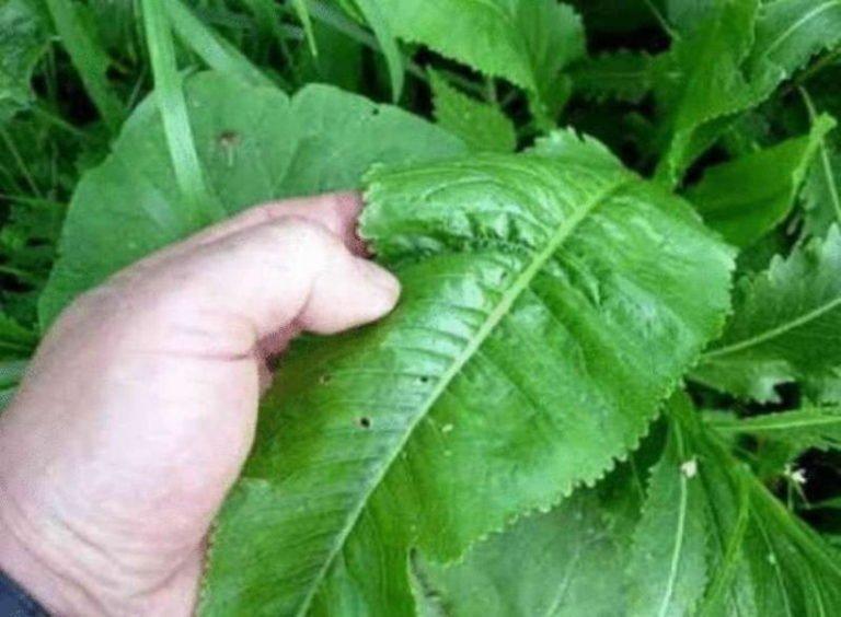 Листья хрена — отменное лекарство: 6 рецептов, которые заменят аптеку!