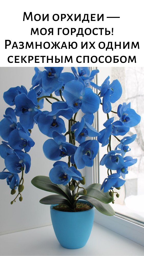 Мои орхидеи — моя гордость! Размножаю их одним секретным способом