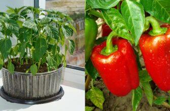 Время перца, сельдерея, баклажанов и ранних томатов уже пришло!