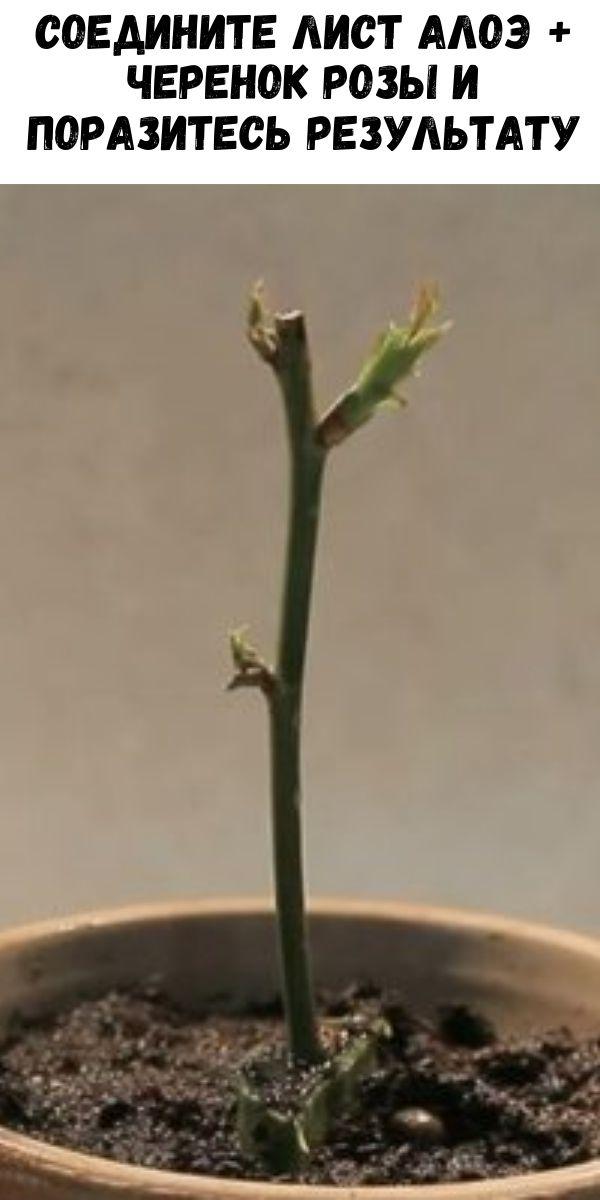 Соедините лист алоэ + черенок розы и поразитесь результату